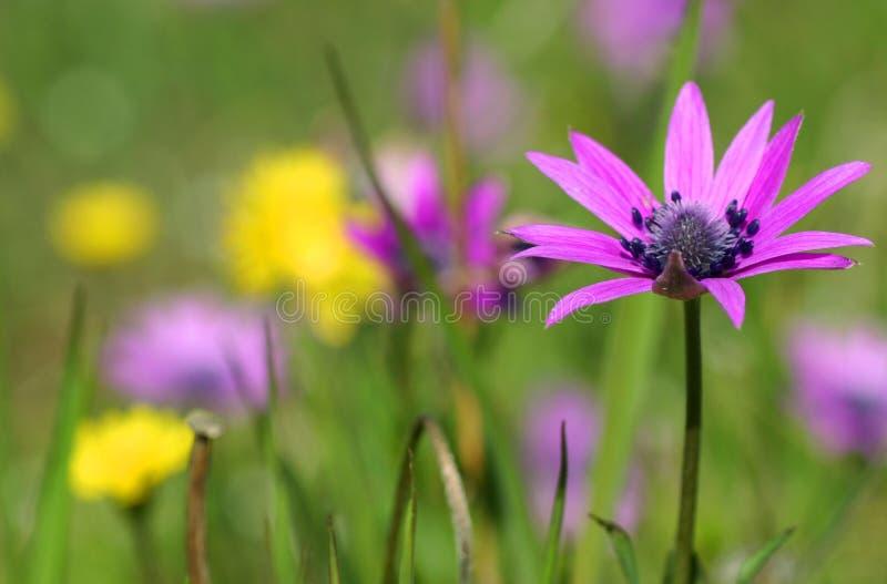 Anemonhortensisen blommar i vår royaltyfri fotografi