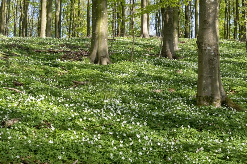Anemoni di legno in primavera fotografie stock