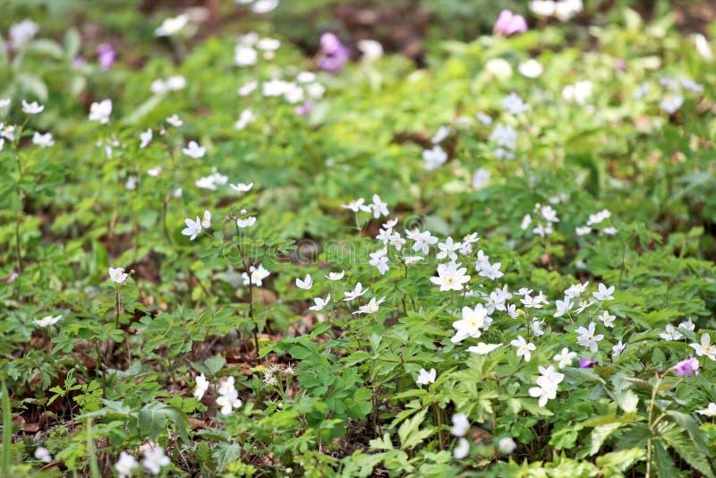 Anemoni di legno in primavera fotografia stock libera da diritti