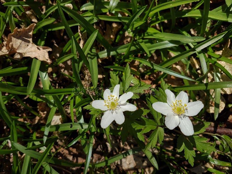 Anemoni di legno tra piante di bluebell immagini stock