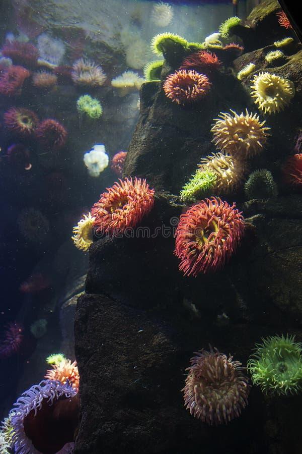 Anemoni di mare e del corallo all'acquario del Ripley a Toronto Ontario Canada fotografia stock libera da diritti
