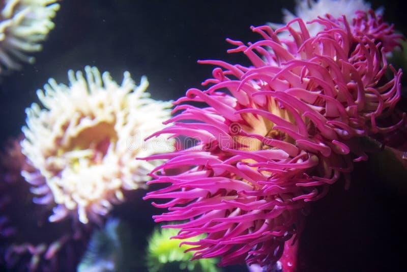 Anemoni di mare e del corallo all'acquario del Ripley a Toronto Ontario Canada immagini stock