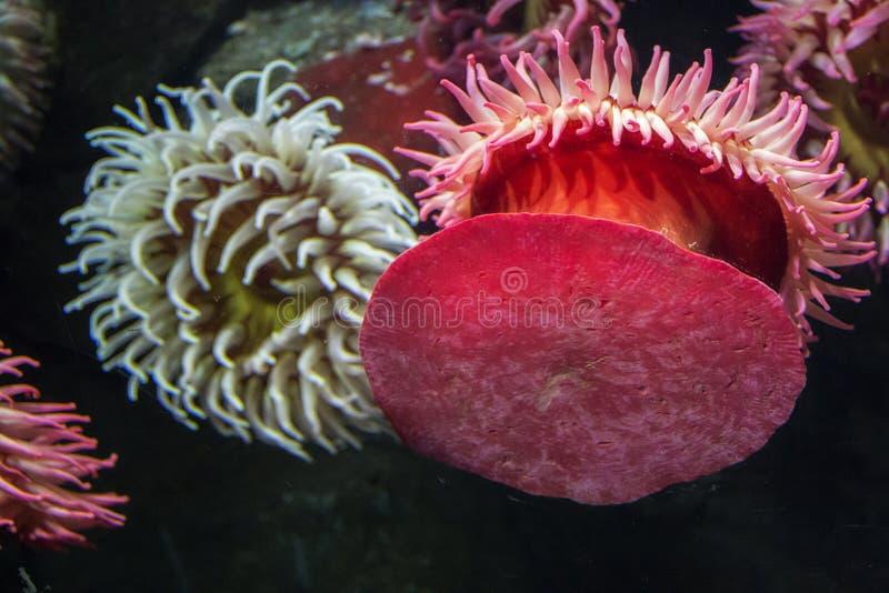 Anemoni di mare e del corallo all'acquario del Ripley a Toronto Ontario Canada fotografia stock