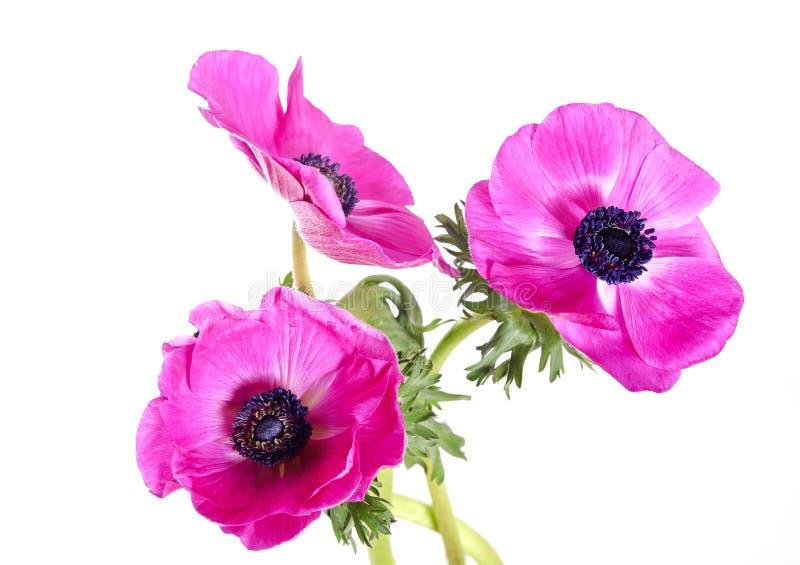 Anemoni rosa fotografie stock libere da diritti