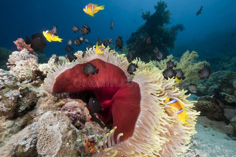anemonkorallhav arkivbilder