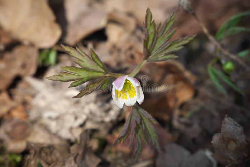 Anemonnemorosa Busch-Windröschen, träanemon, windflower, thimbleweed, lukträvblomma arkivfoton