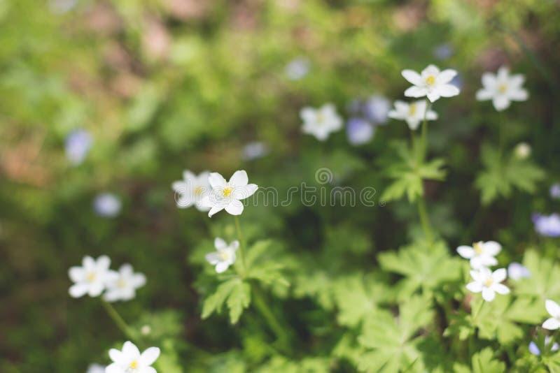 Anemonnemorosablommor i skogen i en solig dag Lös anemon, windflowers, thimbleweed royaltyfri fotografi