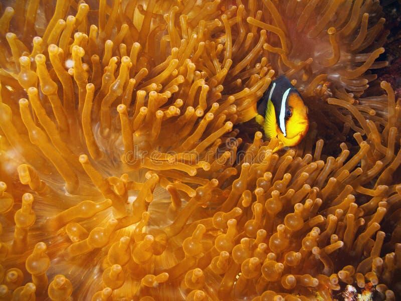 anemonowa błazenu ryba czerwień obrazy royalty free