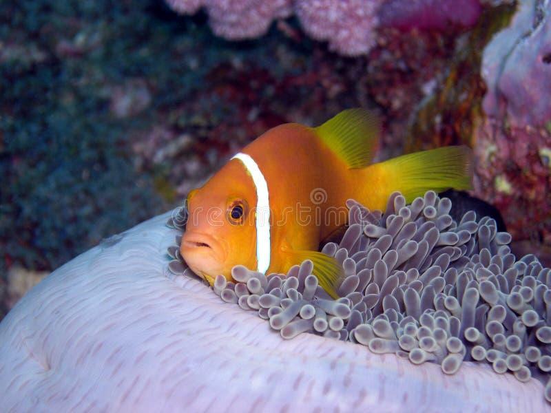 anemonowa ryby maldive fotografia royalty free