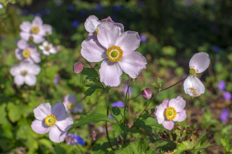 Anemonowego hupehensis japonica kwiatonośna roślina, Japoński anemon kwitnie w kwiacie, thimbleweed windflowers obrazy royalty free