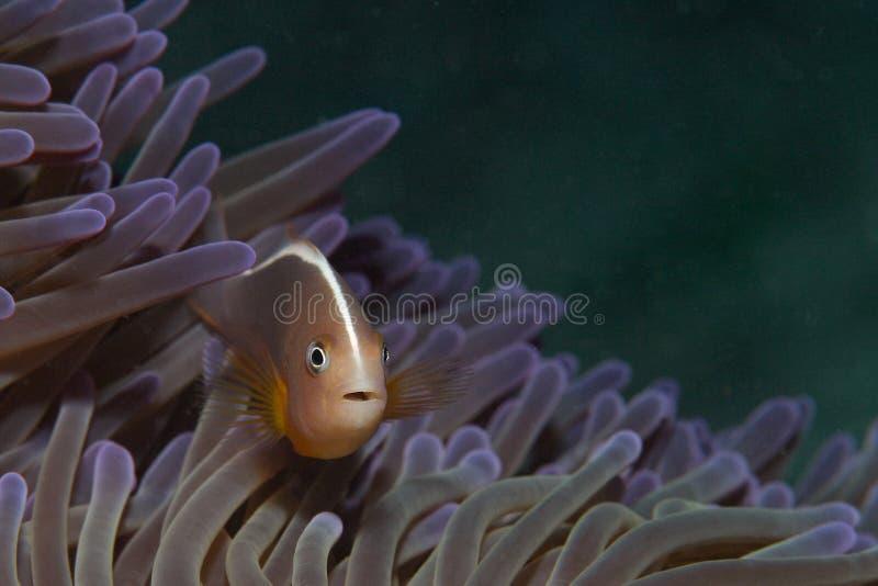 anemonowej ryba pomarańcze zdjęcia royalty free