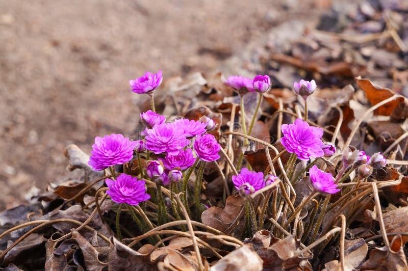 Anemonowi hepatica kwiaty, wiosna kwiaty zdjęcie stock