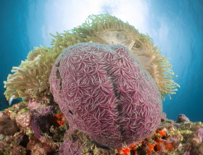 Anemonowi koralowi Maldives obrazy royalty free