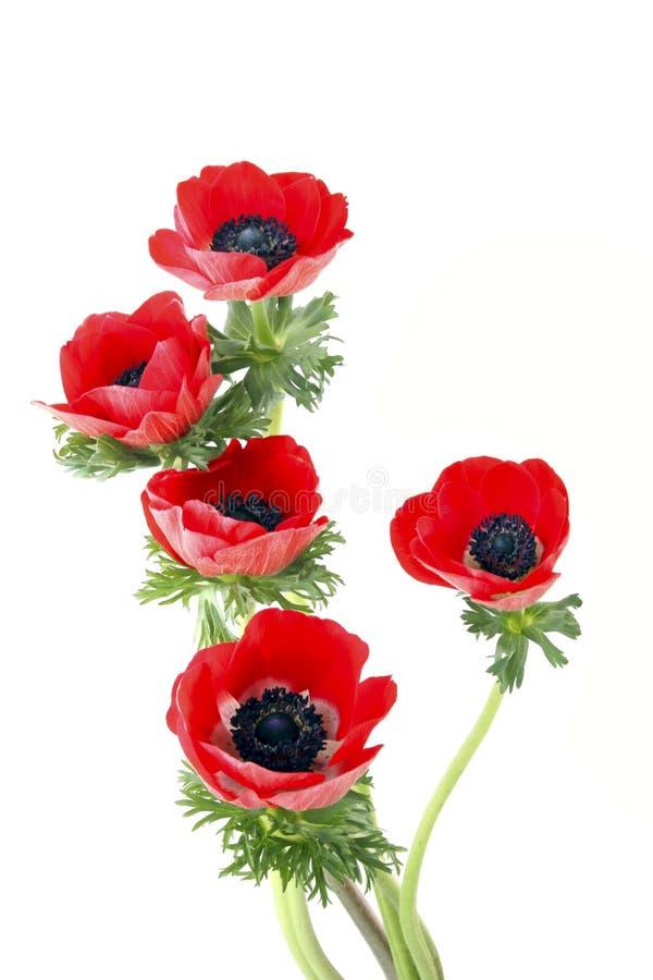 anemonowi kwiaty fotografia royalty free