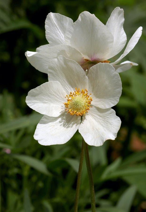 anemonowi sylvestris fotografia royalty free