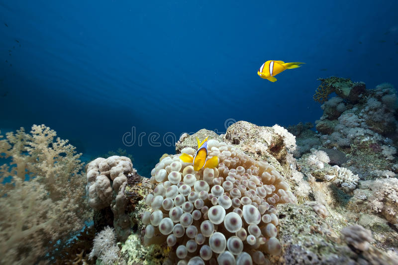 anemonowy bąbla korala ocean fotografia royalty free