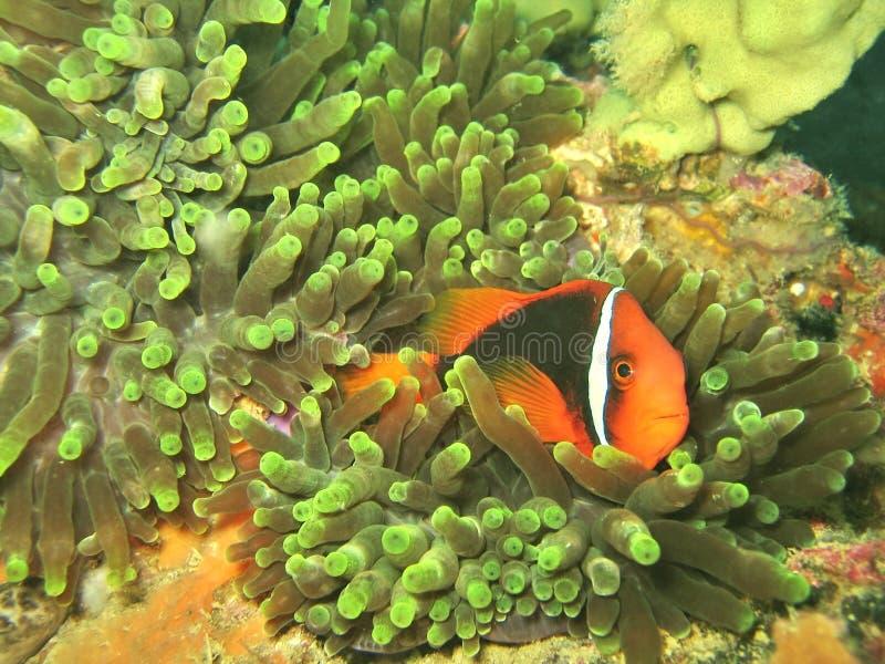 anemonowy błazenkiem korale fotografia stock