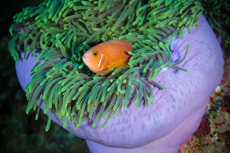 anemonowy błazenu spojrzenia Maldivian anemonowy morze obraz royalty free