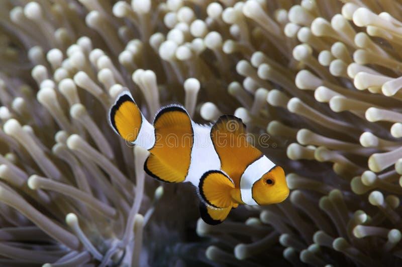 anemonowy clownfish zdjęcie royalty free