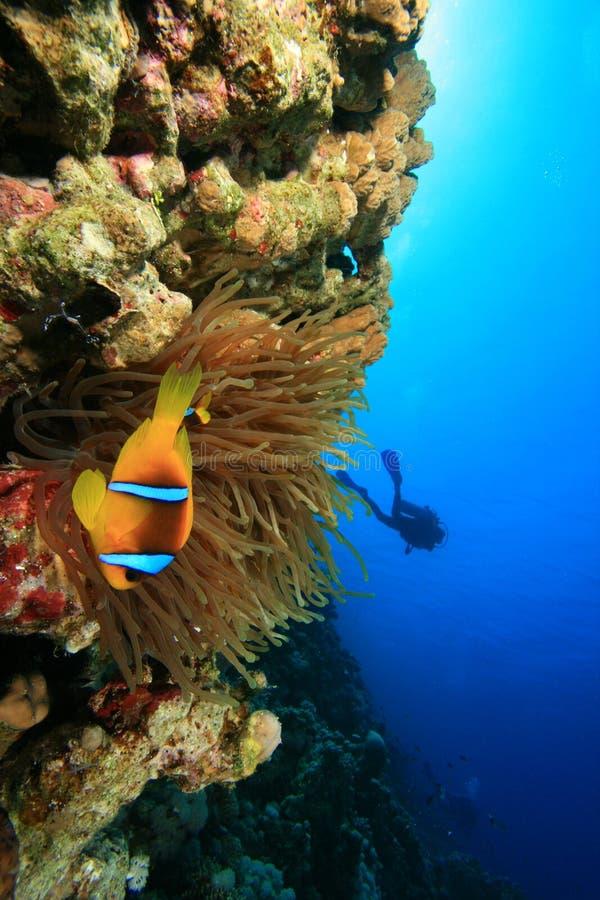 anemonowy clownfish nurka akwalung zdjęcie stock