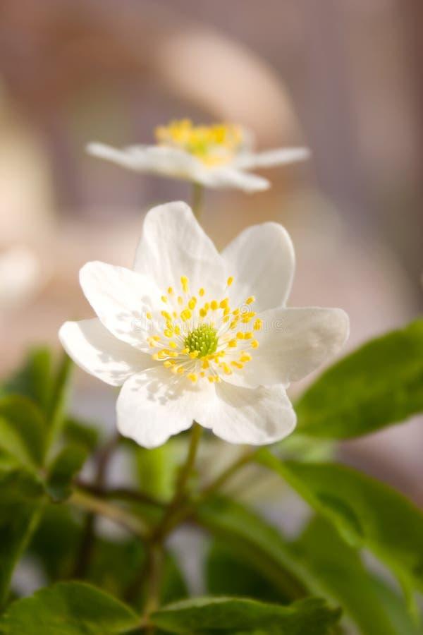 anemonowy drewna zdjęcia royalty free