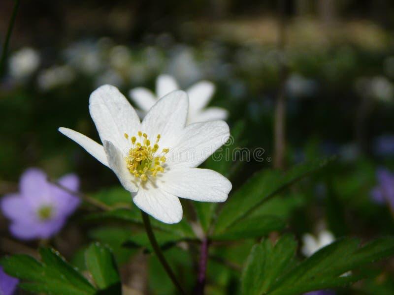 anemonowy drewna zdjęcie stock