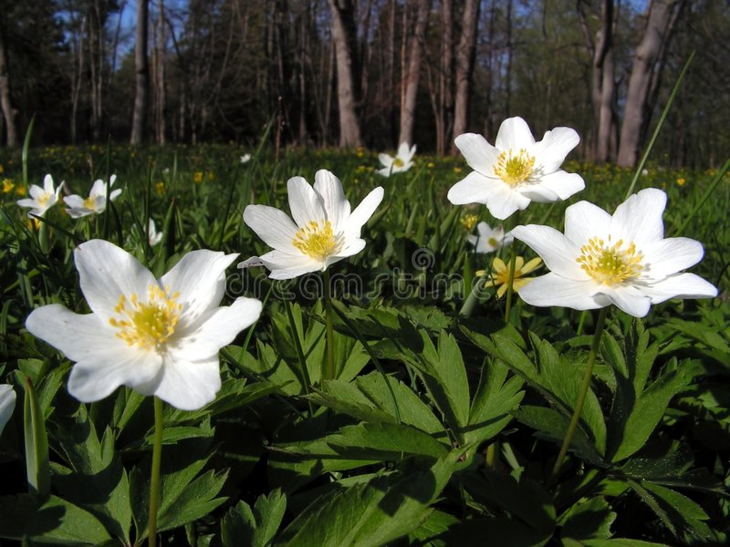 anemonowy drewna fotografia stock