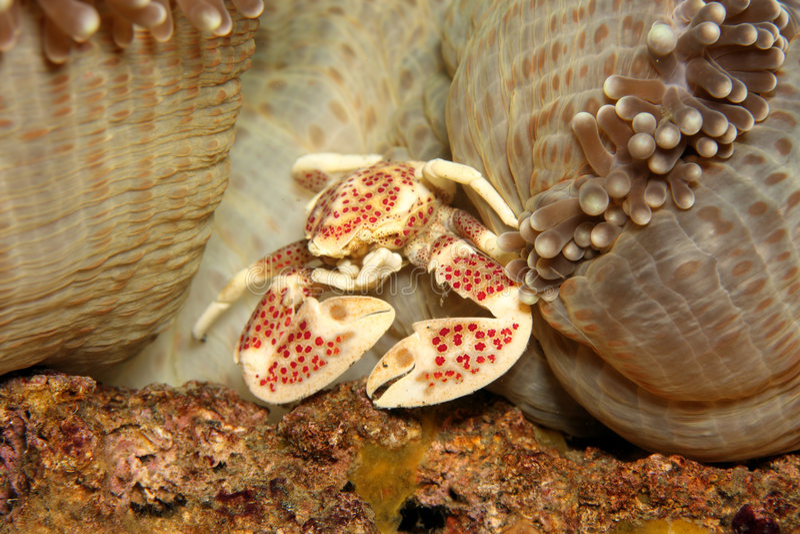 anemonowy krab zdjęcia stock