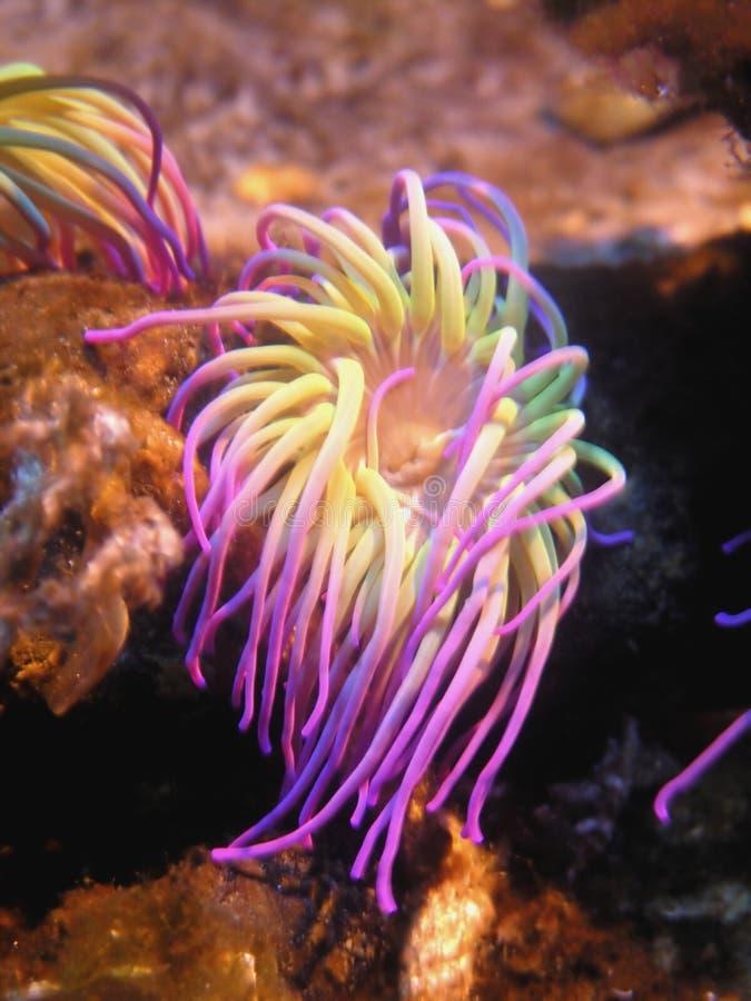 anemonowy morza obrazy royalty free
