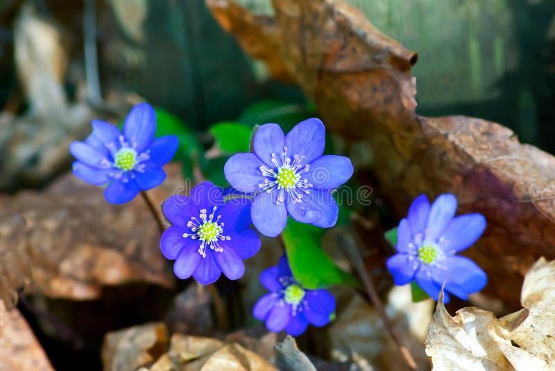 Download Anemonowy niebieski zdjęcie stock. Obraz złożonej z błękitny - 53793576