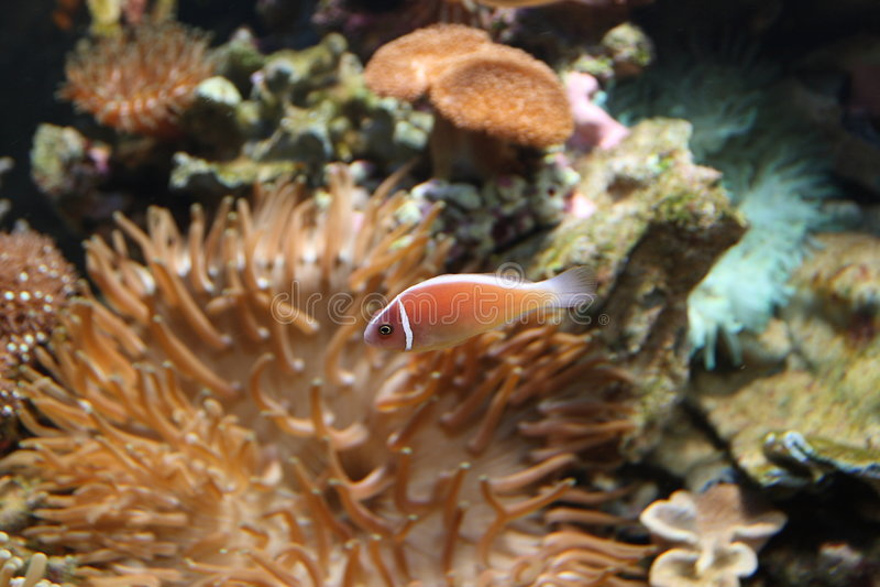 anemonowy olbrzymiego morza obraz royalty free