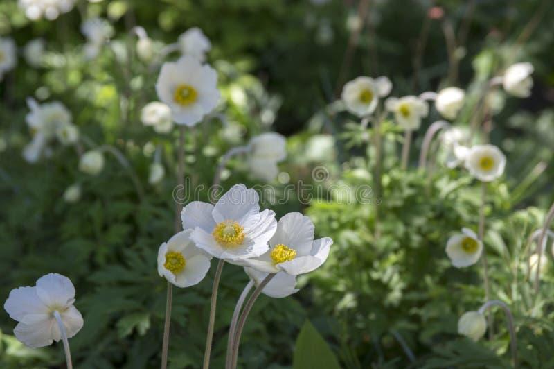 Anemonowych sylvestris śnieżny biały kolor także dzwonił śnieżyczka anemon, odwiecznie kwiatonośna wiązka rośliny w świetle dzien obraz stock