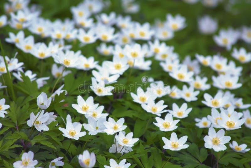 Anemonu †'dzicy biali kwiaty w drewnie zdjęcie royalty free