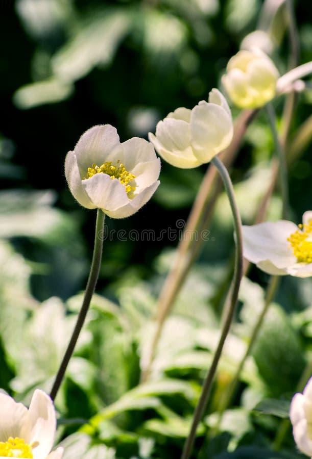 Anemonu jaskier, biali kwiaty Przyciąganie each inny Czułość w związkach między ludźmi obrazy stock