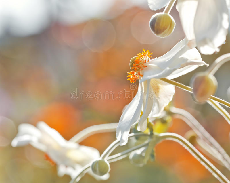anemonu kwiat obraz royalty free