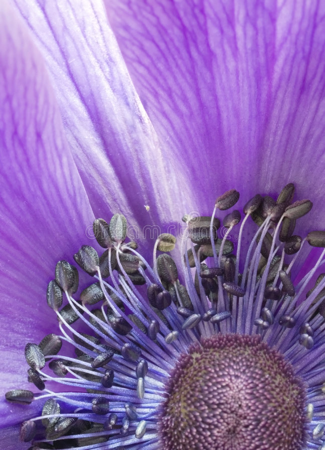 anemonu up zamknięty zdjęcie stock
