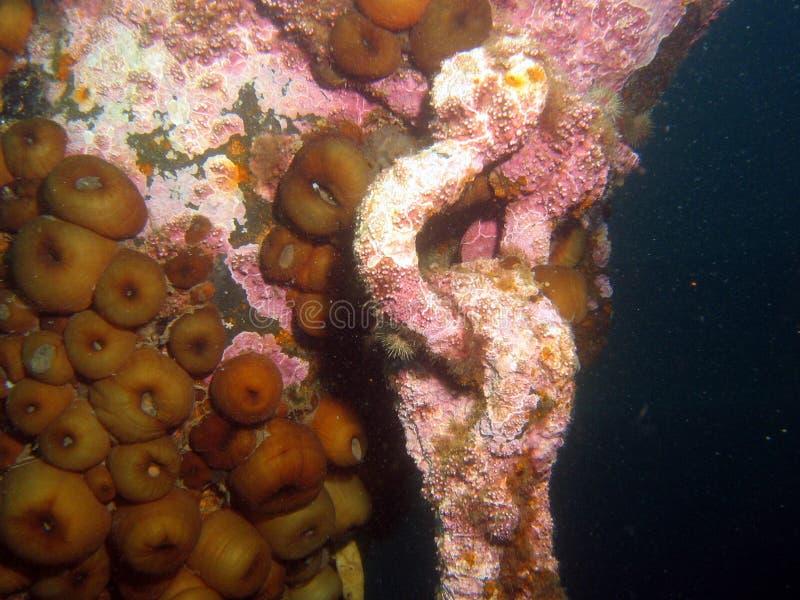 anemonu wrak statku zdjęcie stock