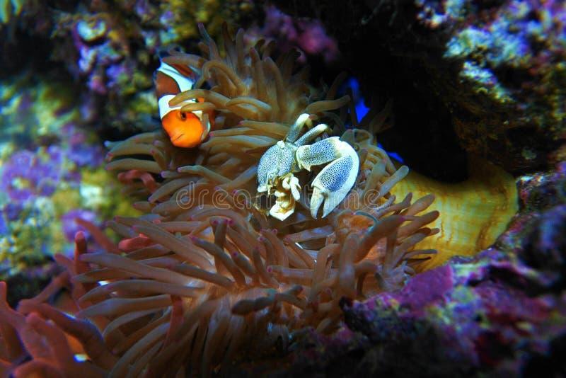 Anemony螃蟹和小丑鱼 库存照片