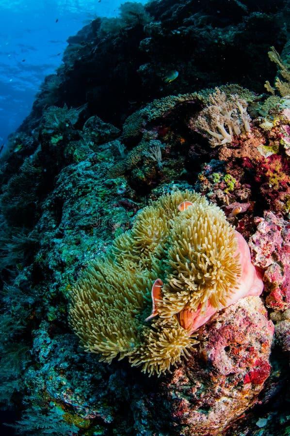 Anemoon, clownfish, zacht koraal in Banda, de onderwaterfoto van Indonesië stock fotografie