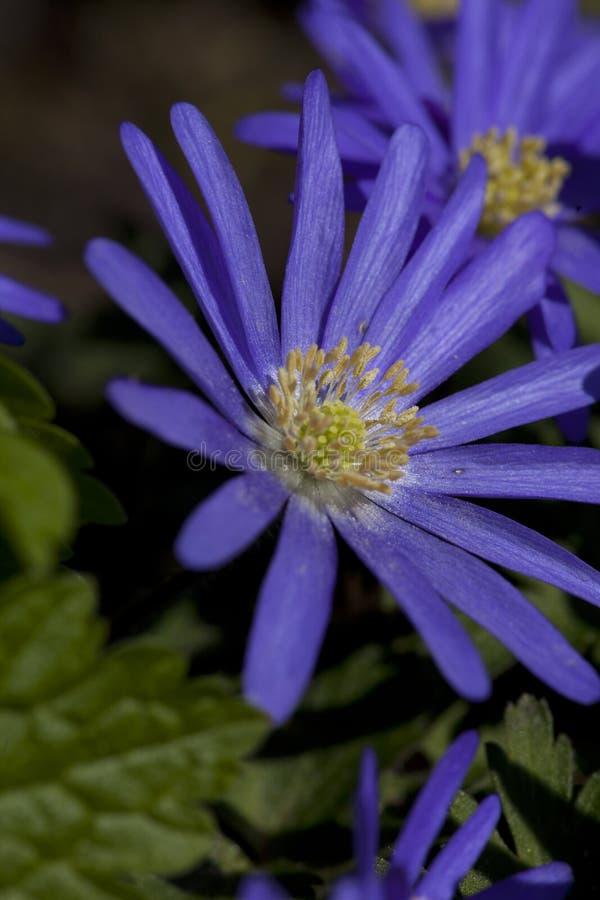 Anemoon de Blauwe, Windflower de Apennine, apennina de la anémona fotos de archivo libres de regalías