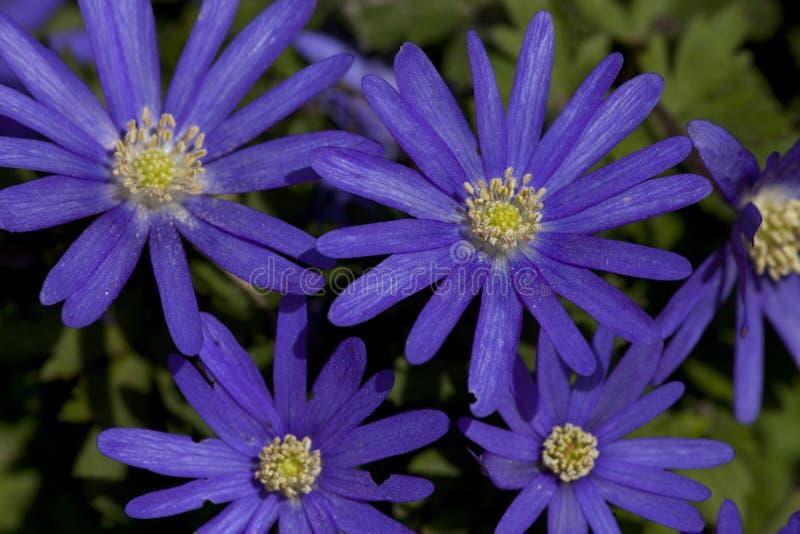 Anemoon de Blauwe, Windflower de Apennine, apennina de la anémona imagen de archivo libre de regalías