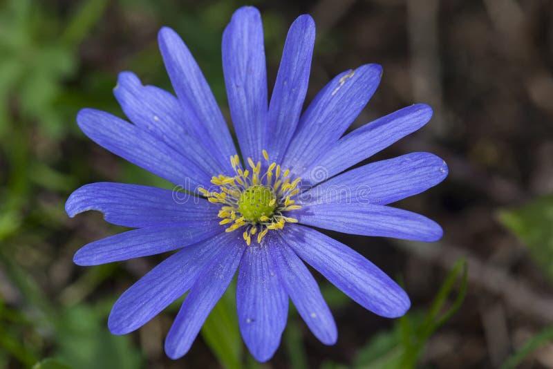 Anemoon de Blauwe, Windflower de Apennine, apennina de la anémona fotografía de archivo libre de regalías