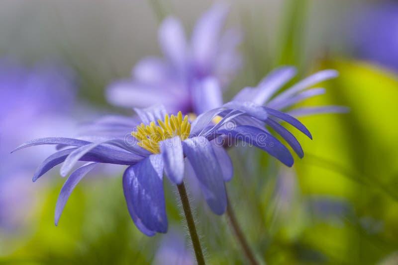 Anemoon de Blauwe, Windflower de Apennine, apennina de la anémona fotos de archivo