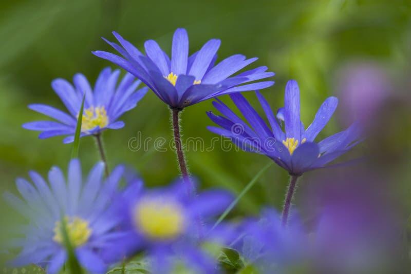 Anemoon de Blauwe, Windflower de Apennine, apennina de la anémona imagenes de archivo