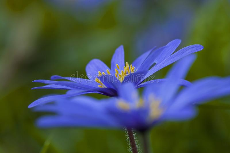 Anemoon de Blauwe, Windflower de Apennine, apennina de la anémona fotografía de archivo