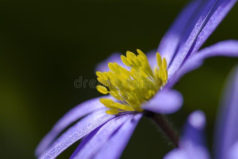 Anemoon de Blauwe, Windflower de Apennine, apennina de la anémona imágenes de archivo libres de regalías