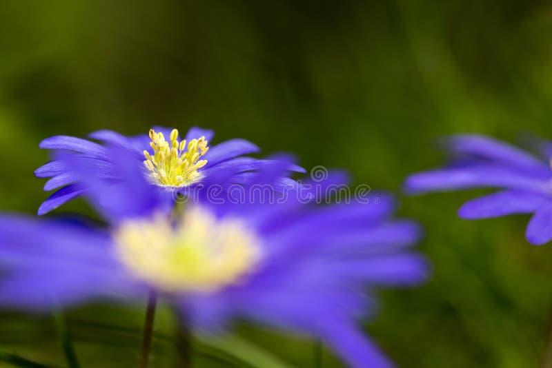 Anemoon de Blauwe, Windflower de Apennine, apennina de la anémona foto de archivo libre de regalías