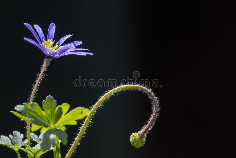 Anemoon di Oosterse, anemone blu di inverno, blanda dell'anemone immagine stock libera da diritti