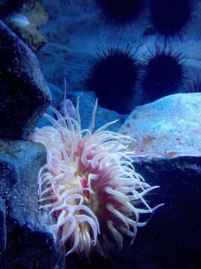 Anemoon die over door de Zeeëgels worden gelet op stock foto