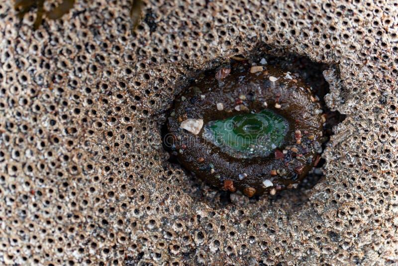 Anemoon in een bed van zandkasteelwormen stock fotografie